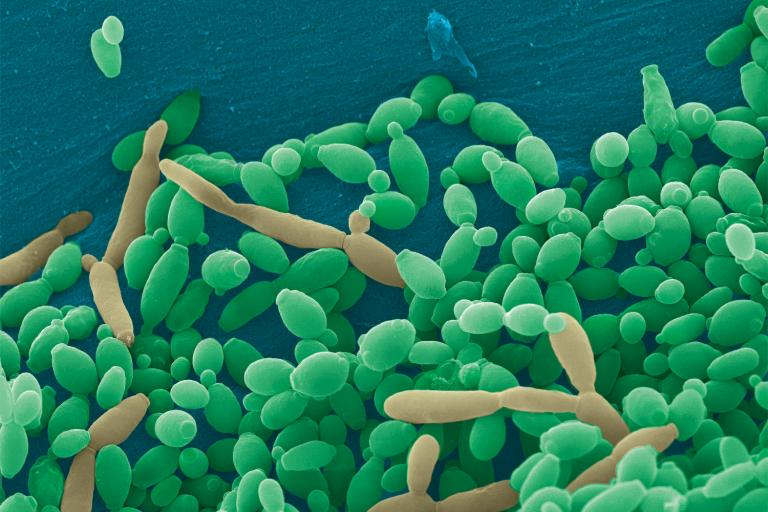 candida tropicalis under a microscope
